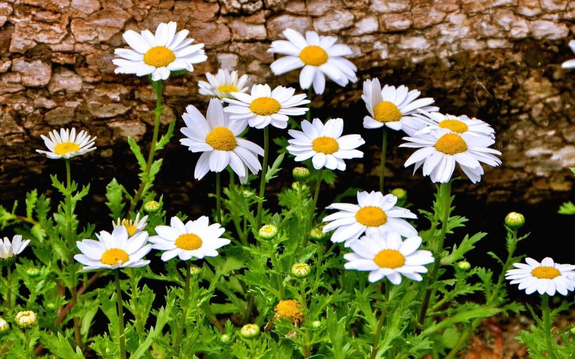 Camomiles Many Flowers   d wallpaper