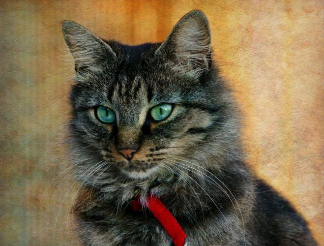 cat gray striped wallpaper