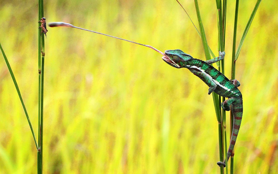 Chameleon Lizard wallpaper