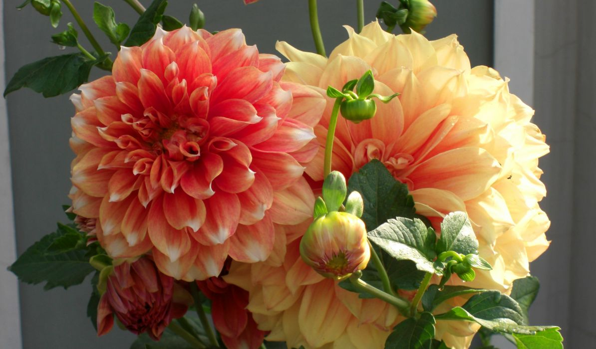 Dahlias Flowers wallpaper