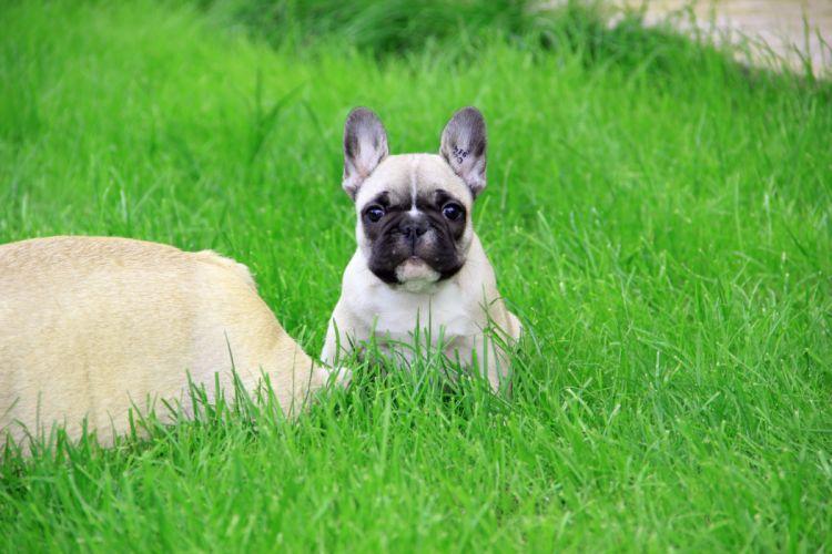 Dogs Pug Grass Animals wallpaper
