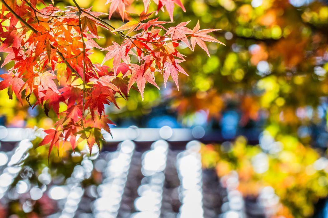 Maple red leaf tree autumn macro glare focus blur wallpaper