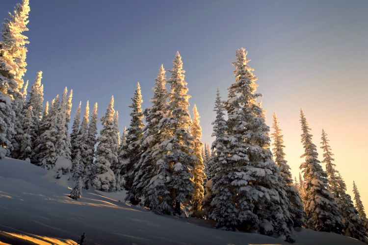 nature winter spruce slope snow wallpaper