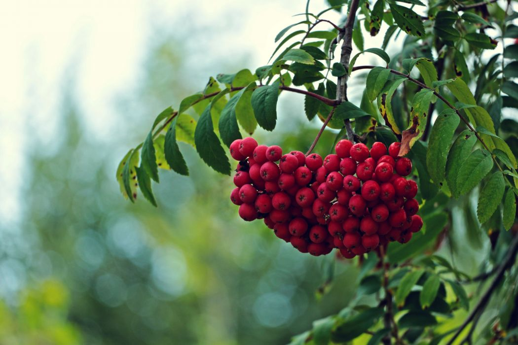 tree branches leaves fruit red rowan berry berries bokeh macro   f wallpaper