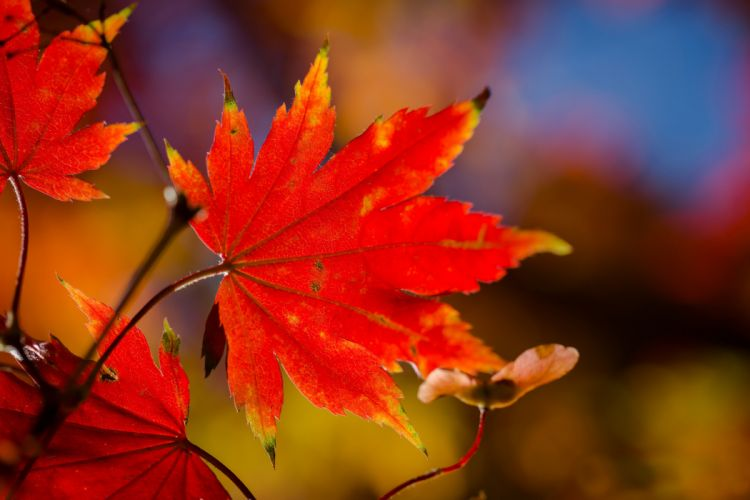 branch leaves autumn red maple macro wallpaper
