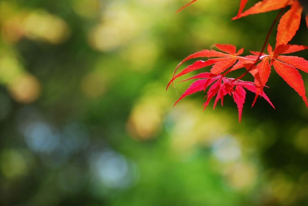 branch leaves autumn red wallpaper