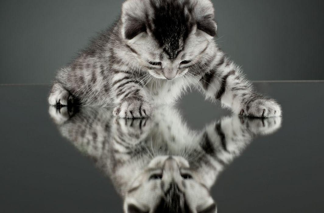 cat kitten reflection mirror wallpaper