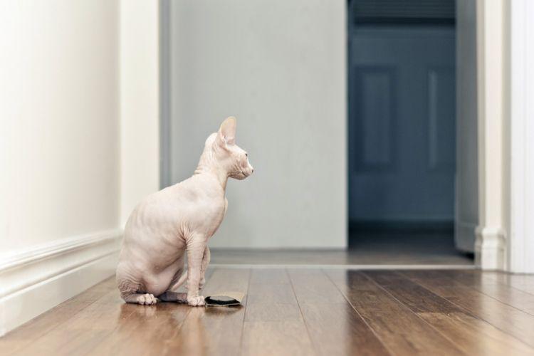 cat sphinx wallpaper