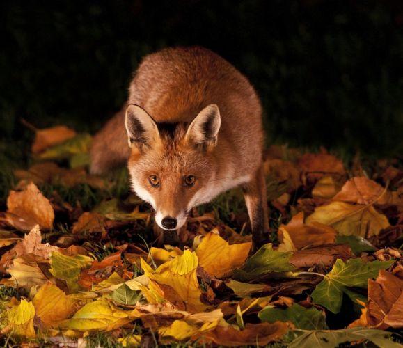 grass leaves autumn night fox red c wallpaper