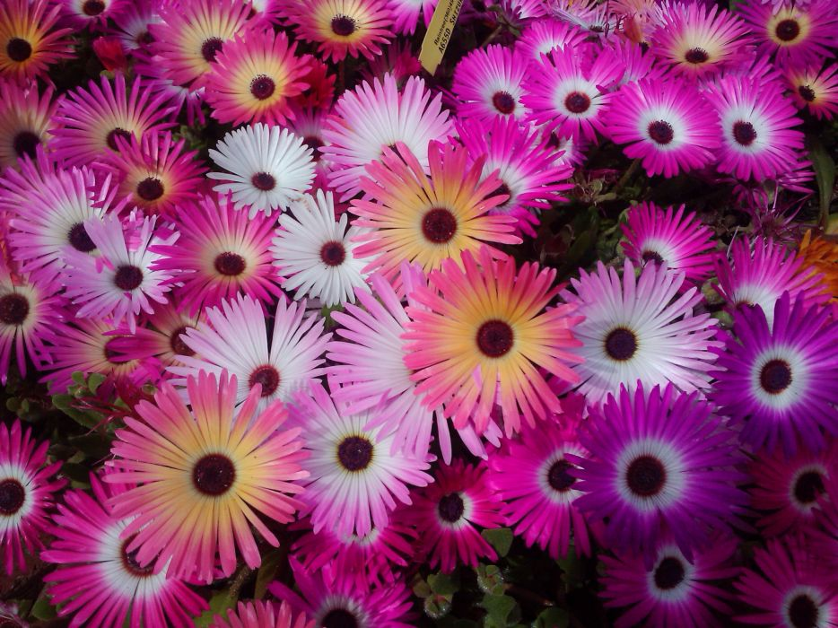 Mesembryanthemum Many Flower wallpaper