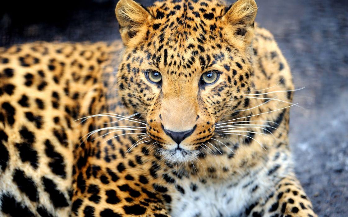 predator animal leopard wallpaper