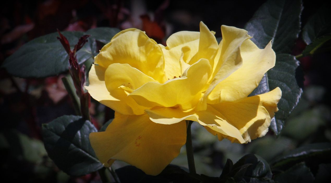 yellow flower  bright  petals  leaves  stem  nature wallpaper