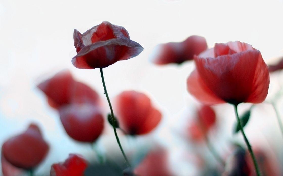 red flowers poppy wallpaper