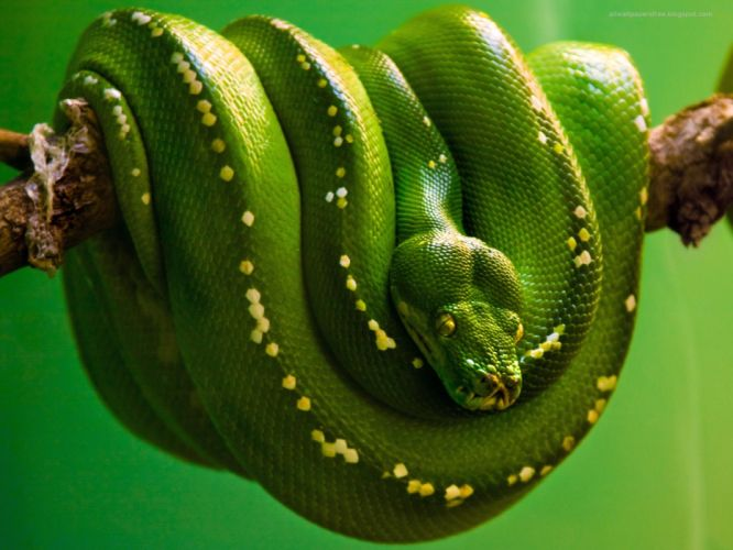 green nature snakes reptiles branches wallpaper