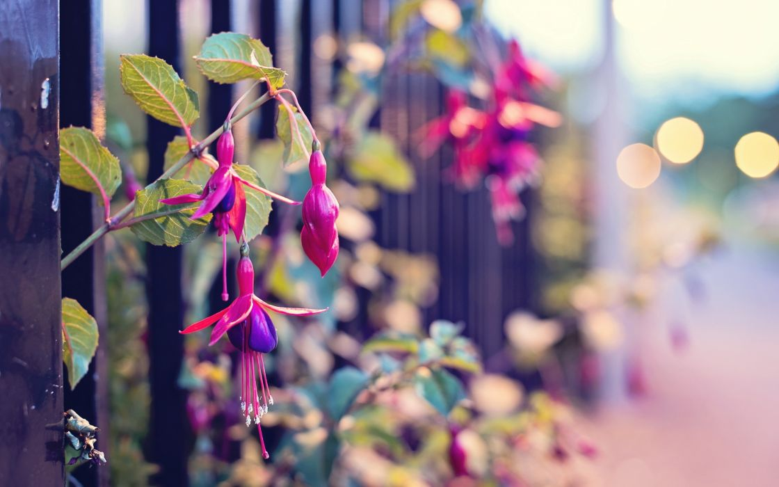 close-up nature streets flowers fences fuschia wallpaper