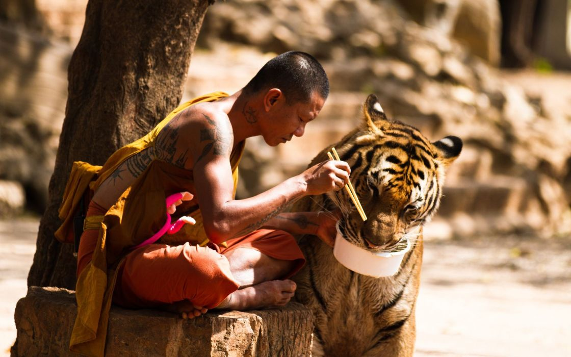 animals tigers monk wallpaper