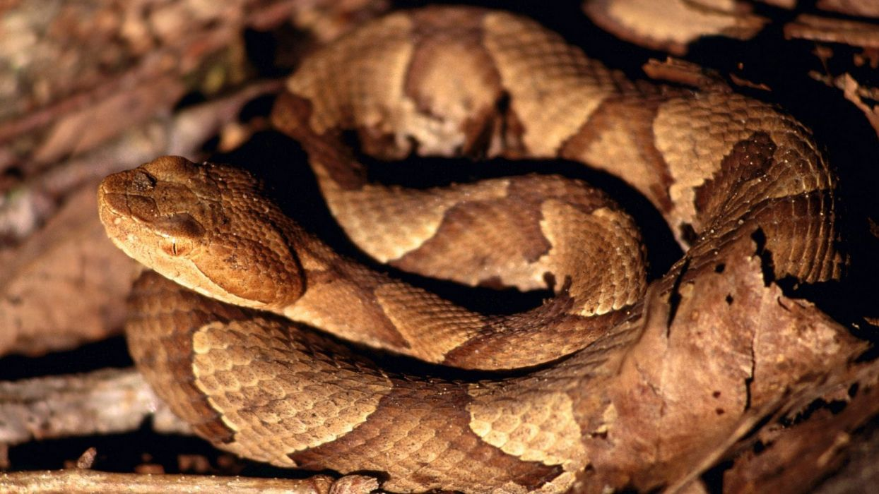 autumn wildlife snakes Tennessee reptiles parks creek American Copperhead wallpaper
