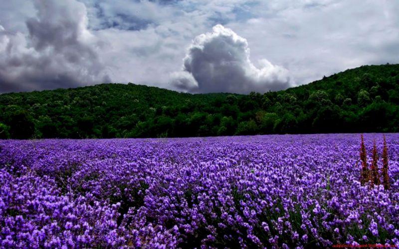 landscapes nature lavender purple flowers wallpaper