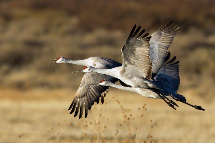birds stork flight flock trio wallpaper