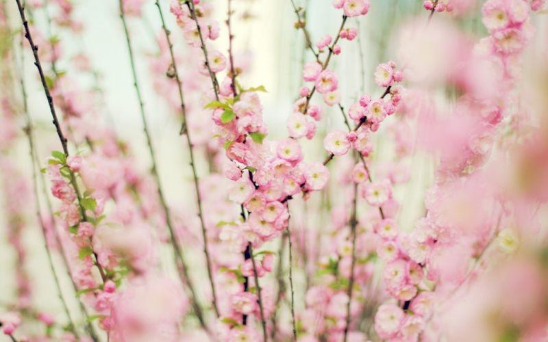 blossom bokeh wallpaper