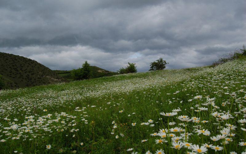 field grass daisies summer wallpaper
