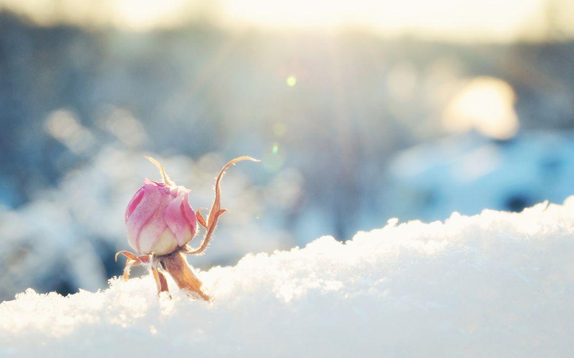 Flower rose bud snow sunny pink bokeh winter d wallpaper - Rose in snow wallpaper ...