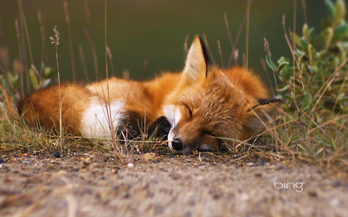 fox bing wallpaper