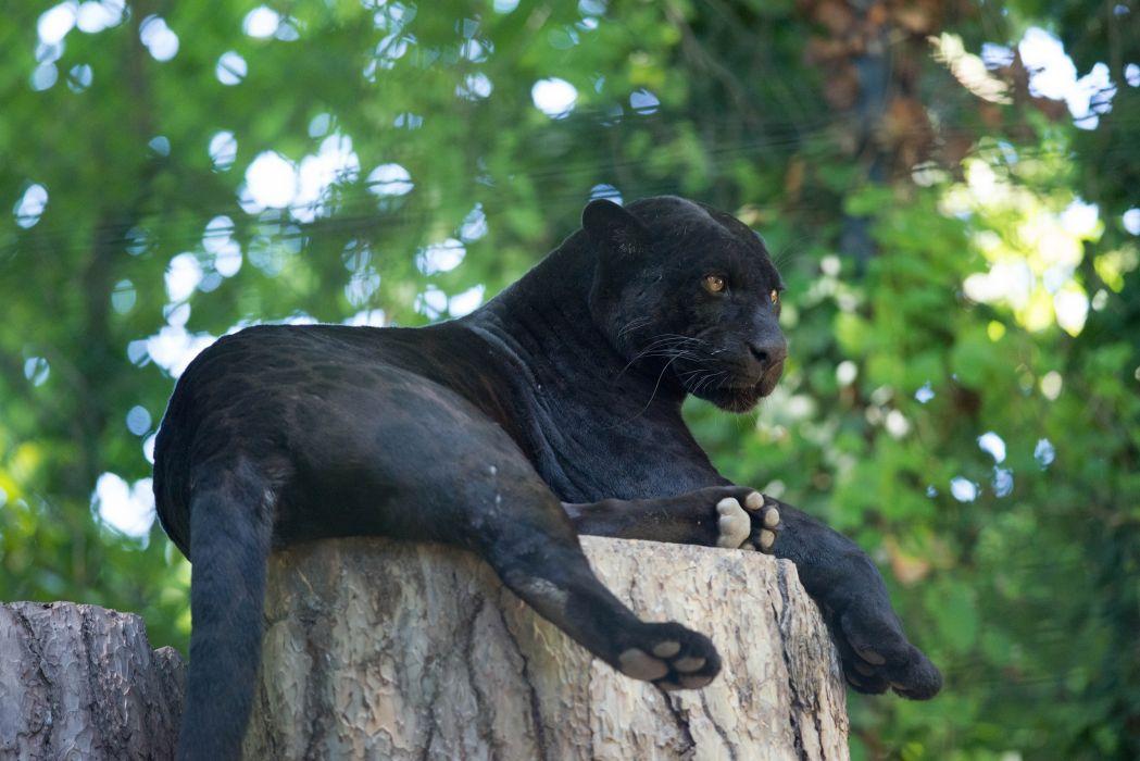 jaguar panther wild cat rest wallpaper
