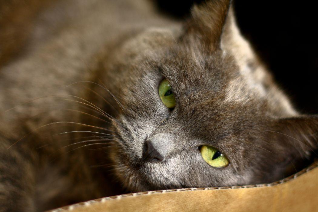lies cat green eyes gray wallpaper