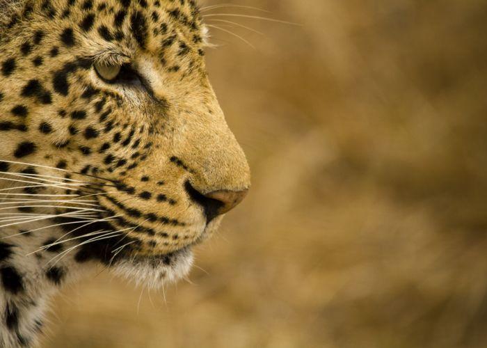 leopard wild cat face profile d wallpaper