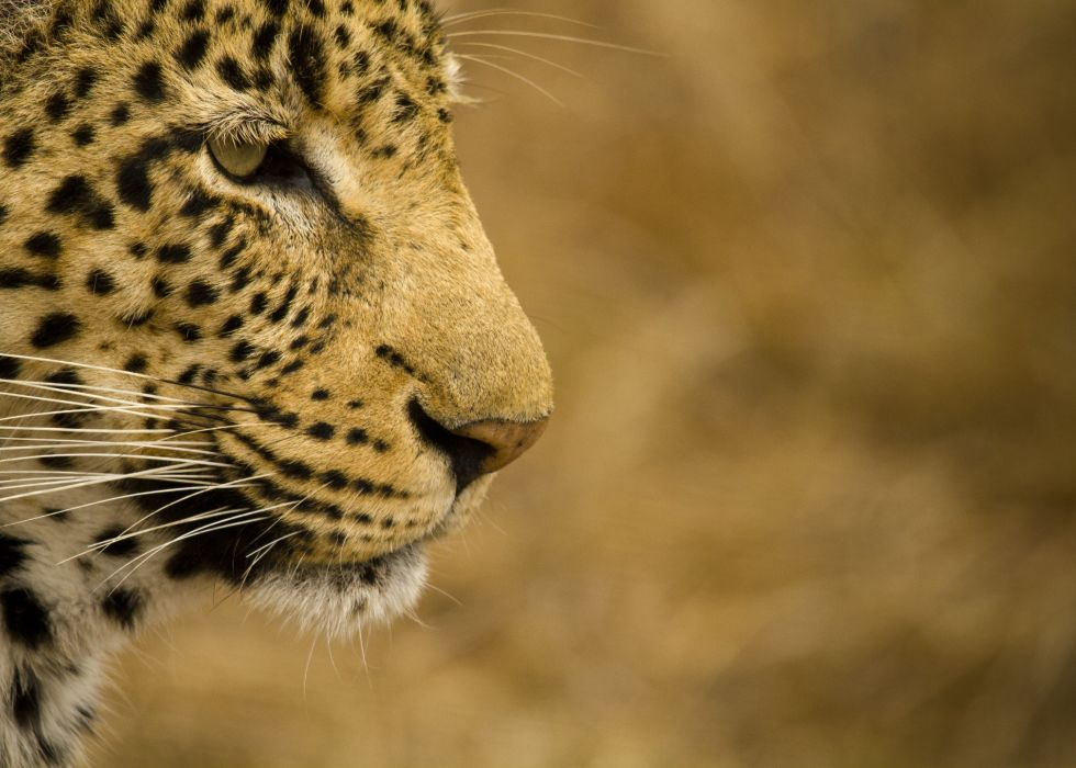 leopard wild cat face profile     d wallpaper