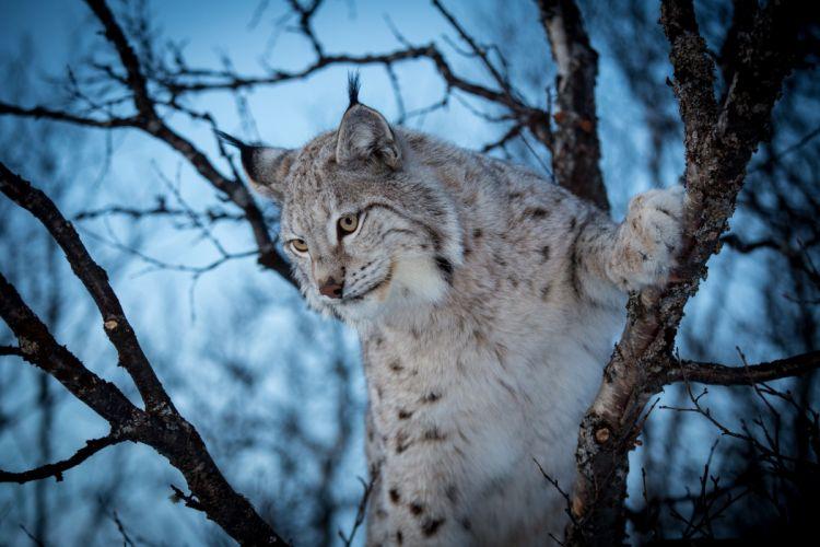 lynx wildcat d wallpaper