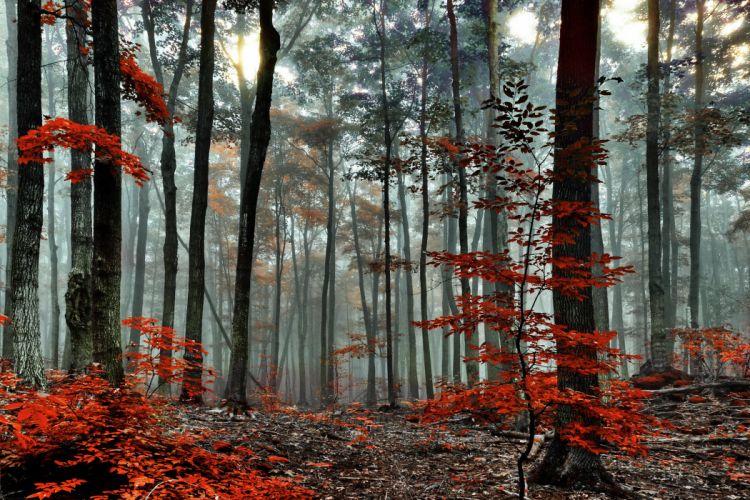 red forest trees autumn fog morning wallpaper