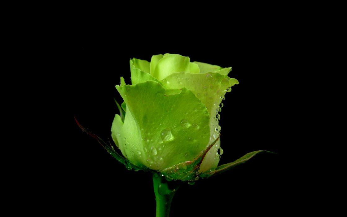 rose flower green dew water drops wallpaper