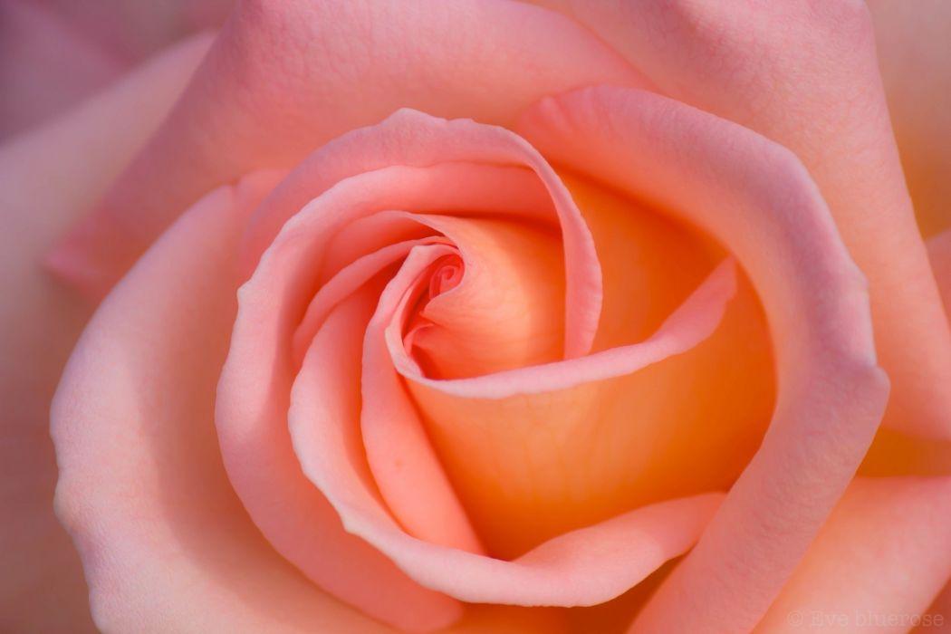 rose macro petals pink bokeh     g wallpaper
