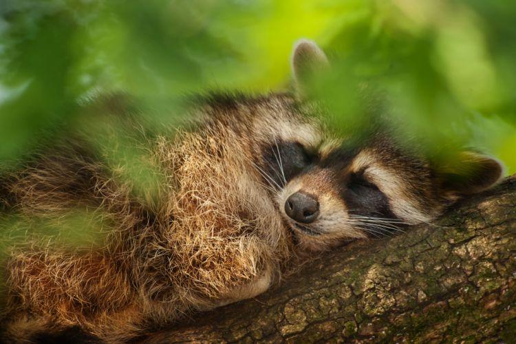 tree raccoon leaves sleeps mood wallpaper