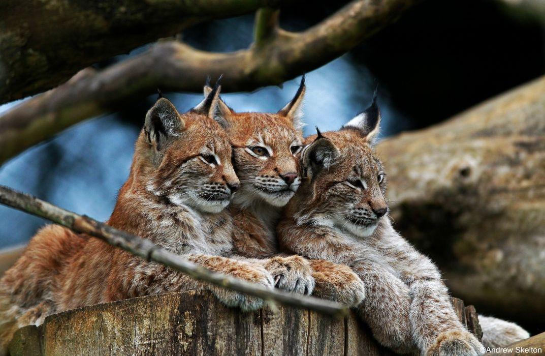 wild cat lynx      d wallpaper