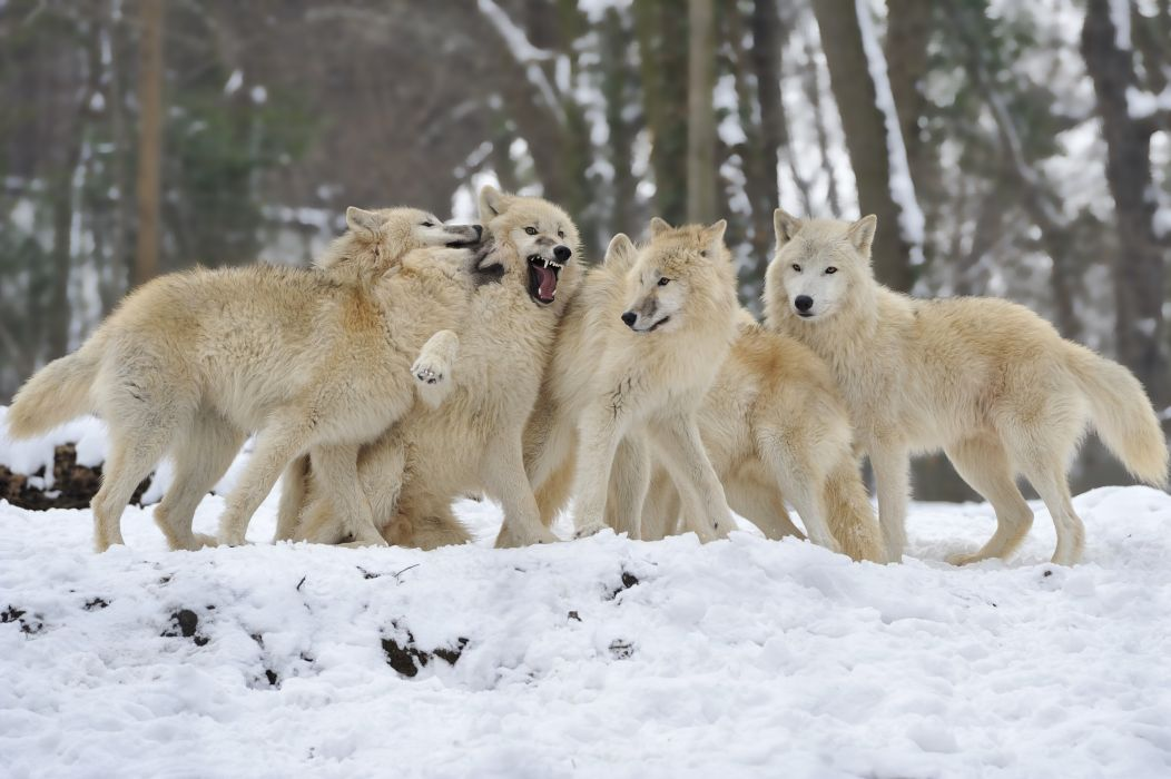 Animated Wolf Art Wallpapers Wolf Pack Wallpapers Wallpaper