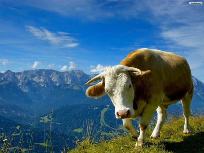 mountains clouds skylines animals cows wallpaper