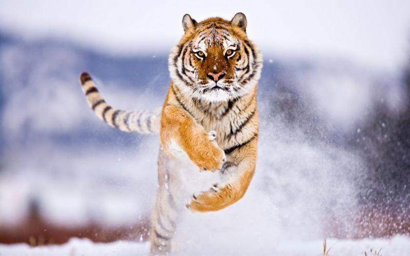 running Siberian Tiger wallpaper