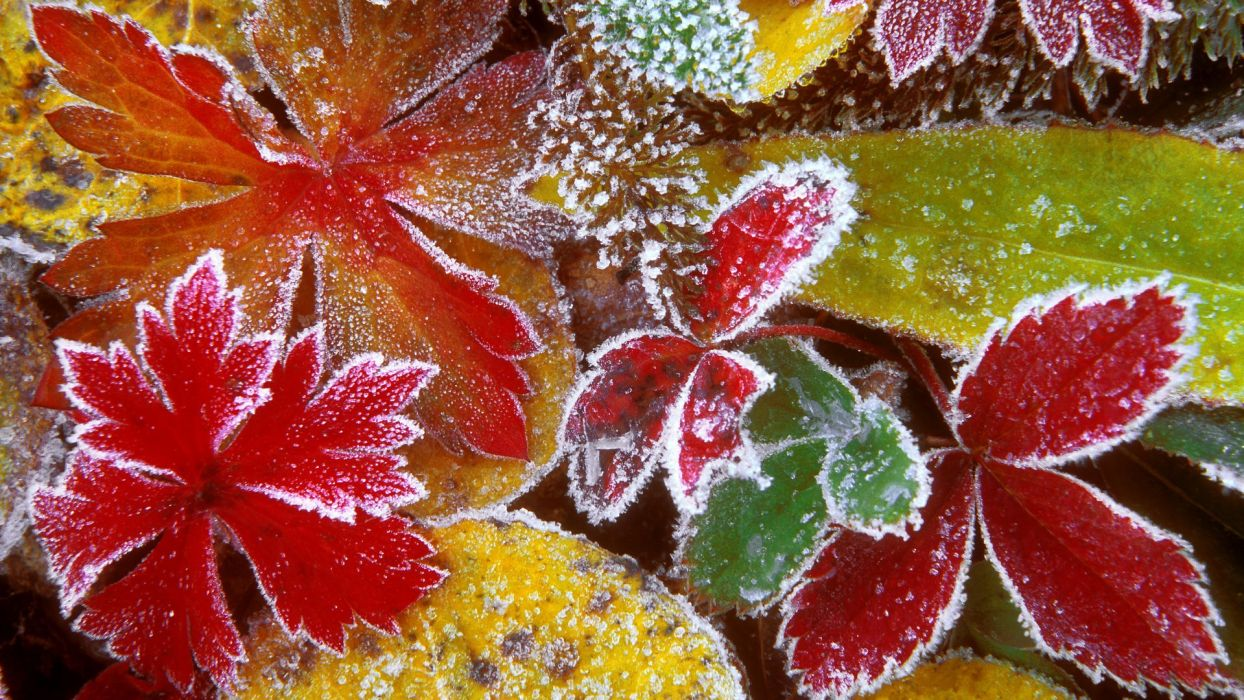 forests leaves frosty wallpaper