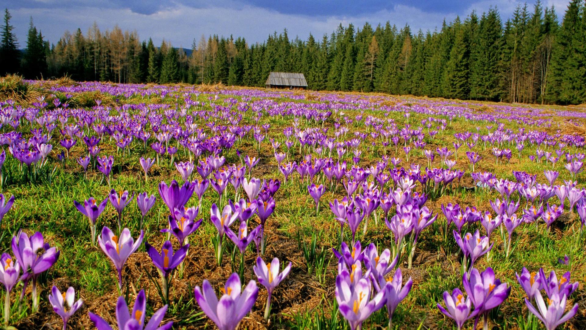 Landscapes flowers valleys Poland crocus National Park ...