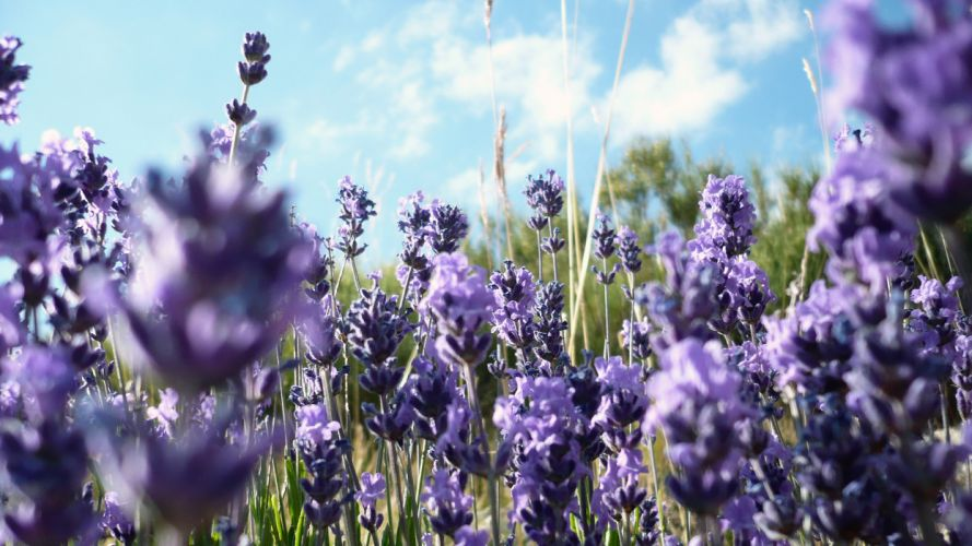 flowers lavender purple flowers wallpaper