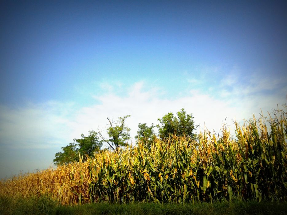 nature trees corn summer Country wallpaper