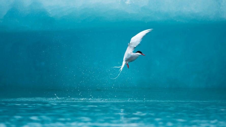 flying birds arctic tern sea wallpaper
