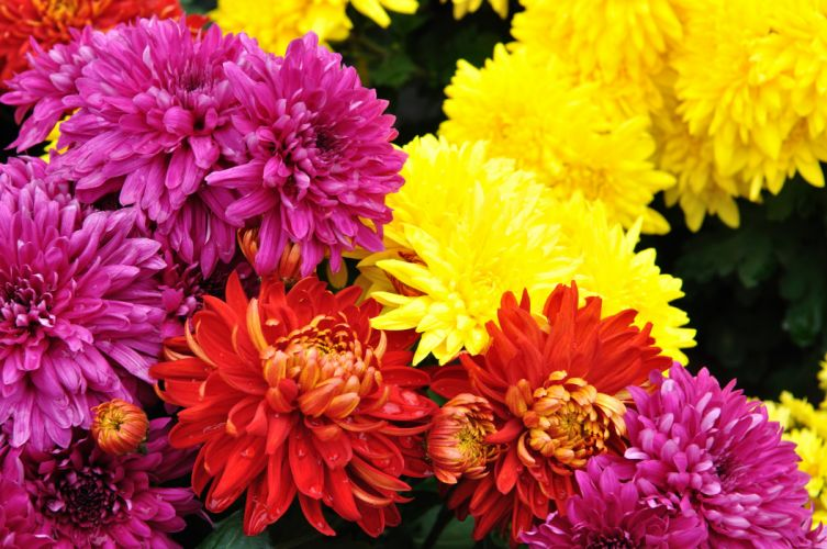 Chrysanthemums Many Flowers wallpaper