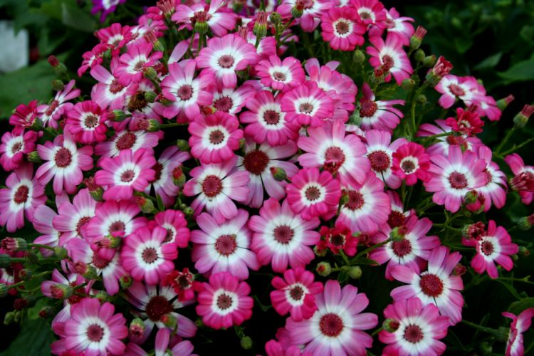 Cineraria Many Flowers d wallpaper