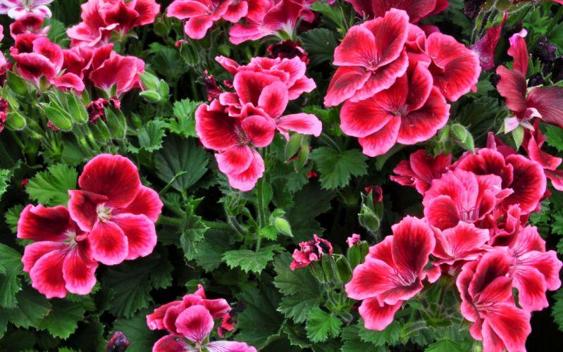 Geranium Flowers wallpaper