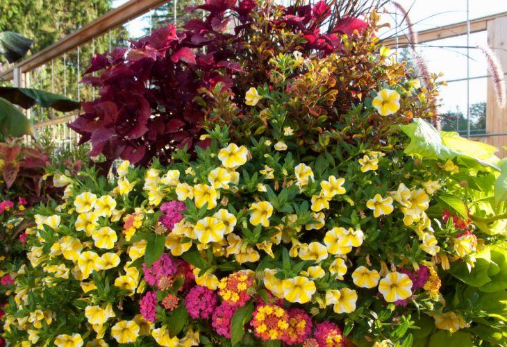 Petunia Many Flowers wallpaper