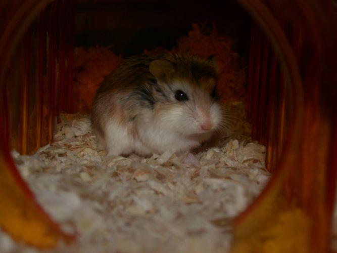 animals hamsters bedding wallpaper